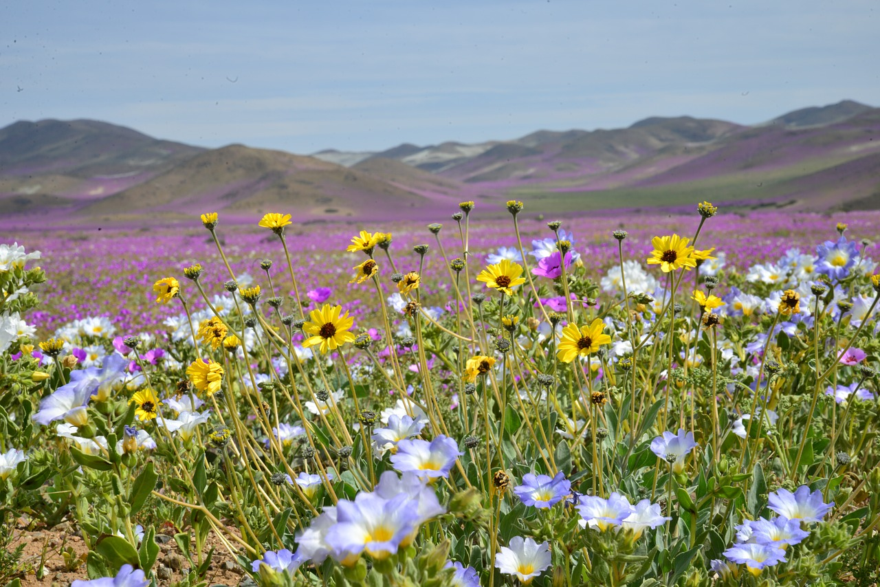 hills, flowering desert, flowers