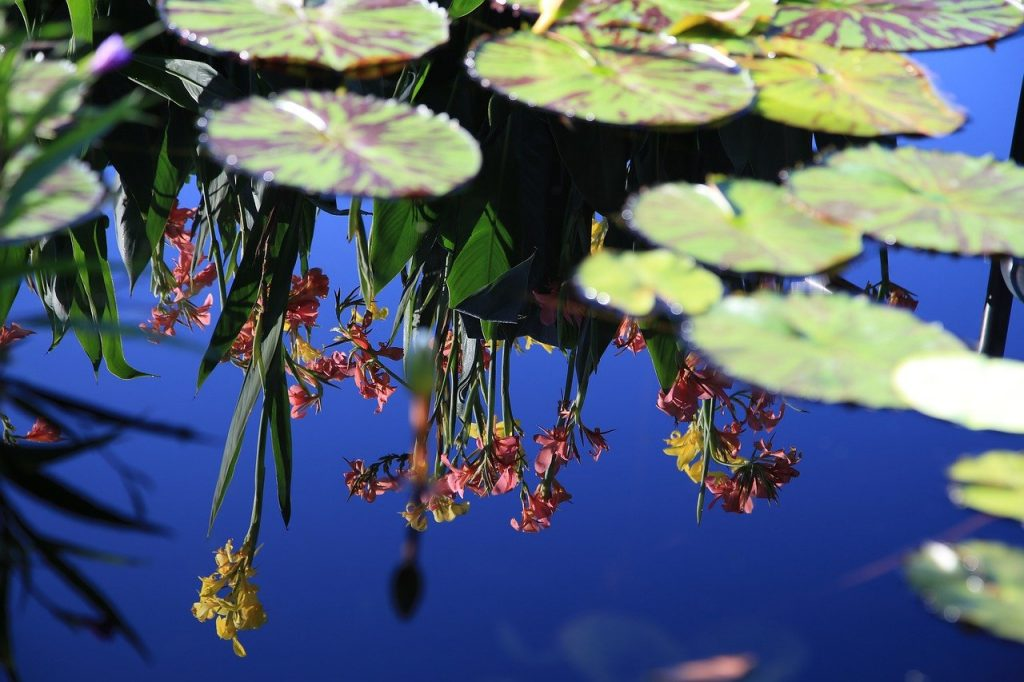 pond, lotus leaf, plants